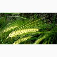 Пшеница яровая Красноуфимская 100 - семена