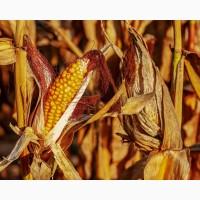 Продам оптом кукурузу