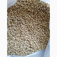 Пшеница для проращивания весовая