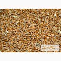 Пшеница 5 класса в Оренбурге