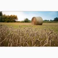 Продаем семена озимой пшеницы мягкой (элита, репродукция)