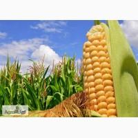 Гибриды семена кукурузы ПР39Д81 (Пионер, Pioneer) ФАО260