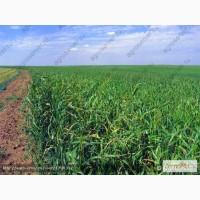 Продам: Семена суданской травы Кинельская 100; Чимшинская ранняя
