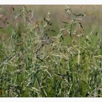 ООО НПП «Зарайские семена» продает семена: овсяница луговая, оптом и в розницу