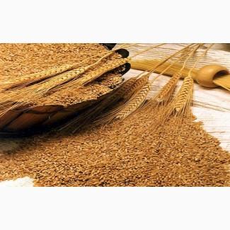 Пшеница яровая сорт Ирень - семена