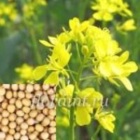 ООО НПП «Зарайские семена» реализует семена горчицы