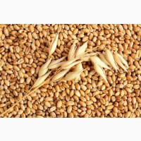 Куплю пшеницу ГОСТ 3 класс