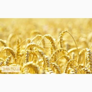 Семена озимой пшеницы Таня, Табор, Уруп