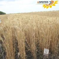 Семена озимой пшеницы Северодонецкая юбилейная