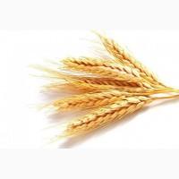 Пшеницу 5 класса