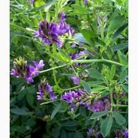 ООО НПП «Зарайские семена» продает семена люцерны изменчивой