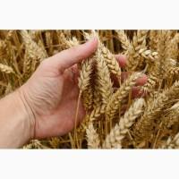 Пшеница яровая Дарья - семена