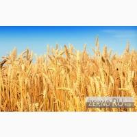 Тендер на закупку пшеницы 2 класса по ГОСТ Р52554-2006