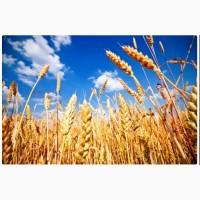 Реализую пшеницу 3 класса