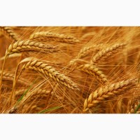 Закупаем пшеницу фуражную, влажную и др