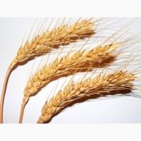 Семена озимой пшеницы Сварог, Степь