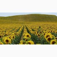 Семена подсолнечника под Экспресс / Гранстар / Сумо (гибриды)