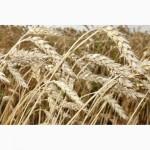 Семена пшеницы Новосибирская 18 ЭС