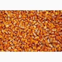 Продаем семена кукурузы