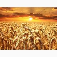 Семена озимой пшеницы мягкой ЭС, РС-1