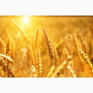Продаю пшеницу 3 класса от производителя. 14000 руб/тонна