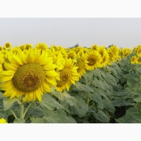 ООО НПП «Зарайские семена» закупает фуражное зерно:подсолнечник от 20 тонн