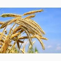 Семена озимой пшеницы Таня, Тимирязевка-150