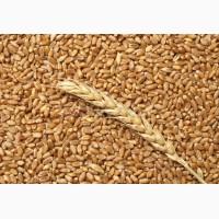 Продам Пшеницу 3-й, 4-й, 5-й класс
