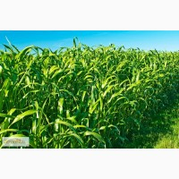 Семена суданской травы сорт Краснодарская 75