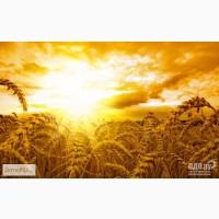 Продаем пшеницу 4 класс, клейковина 20, влажность 13, 5