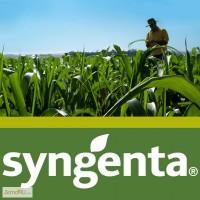 Семена гибридов кукурузы НК Фалькон, Нерисса, НК Гитаго, Делитоп от Syngeynta