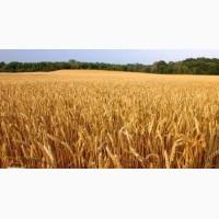 Семена озимой пшеницы: Гром, Таня, Москвич, Алексеич и др