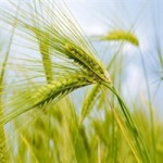 Реализация пшеницы 4 класса оптом
