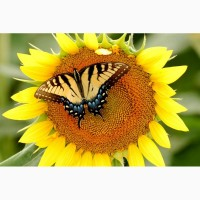 Гибриды семена подсолнечника Мегасан, Тунка, Голдсан, ЛГ 5550, ЛГ 5580, ЛГ 5485