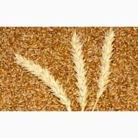 Cудовая партия пшеницы 3 класс