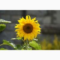 Гибриды семена подсолнечника Лимагрейн (LG)