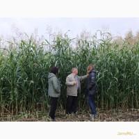 Продаем семена сорго-суданковый гибрид СабантуйF1