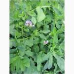 Семена синей люцерны Дакота, РС-2