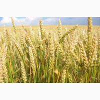 ООО НПП Зарайские семена закупает фуражное зерно:пшеница от 60 тонн