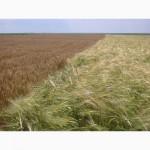 Продаём пшеницу 3-5 класса