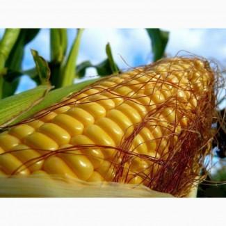 ООО НПП Зарайские семена закупает фуражное зерно:кукуруза от 40 тонн