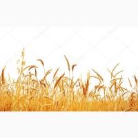 Семена озимой пшеницы Уруп, Юка, Юбилейная 100
