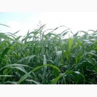 ООО НПП «Зарайские семена» продает семена:суданская трава оптом и в розницу