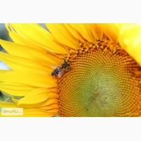 Семена гибридов подсолнечника ПР64Ф66, ПР62А91, ПР63А90, ПР64Ф50, ПР64Х32, ПР64А89