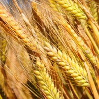 Семена ячменя Вакула, Леон, Ратник, Грис, Щедрый, Приазовский 9