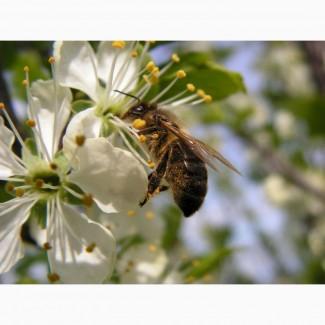 Коммерческое опыление пчёлами садов и посевов