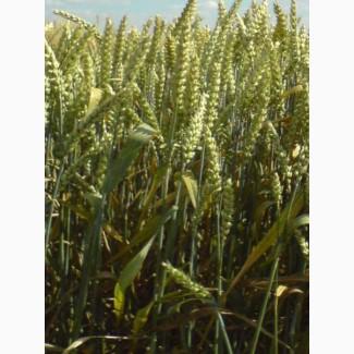 Семена озимой пшеницы сорт Юка 100 ЭС/(РС1)
