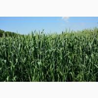 Семена озимой пшеницы «Гурт» ЭЛИТА ОТ ПРОИЗВОДИТЕЛЯ