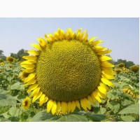 Продаю семена подсолнечника сорт Азовский РС 1