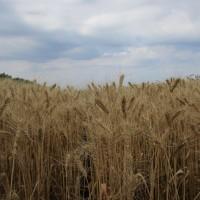 Семена озимой пшеницы «Ермак» ЭЛИТА ОТ ПРОИЗВОДИТЕЛЯ